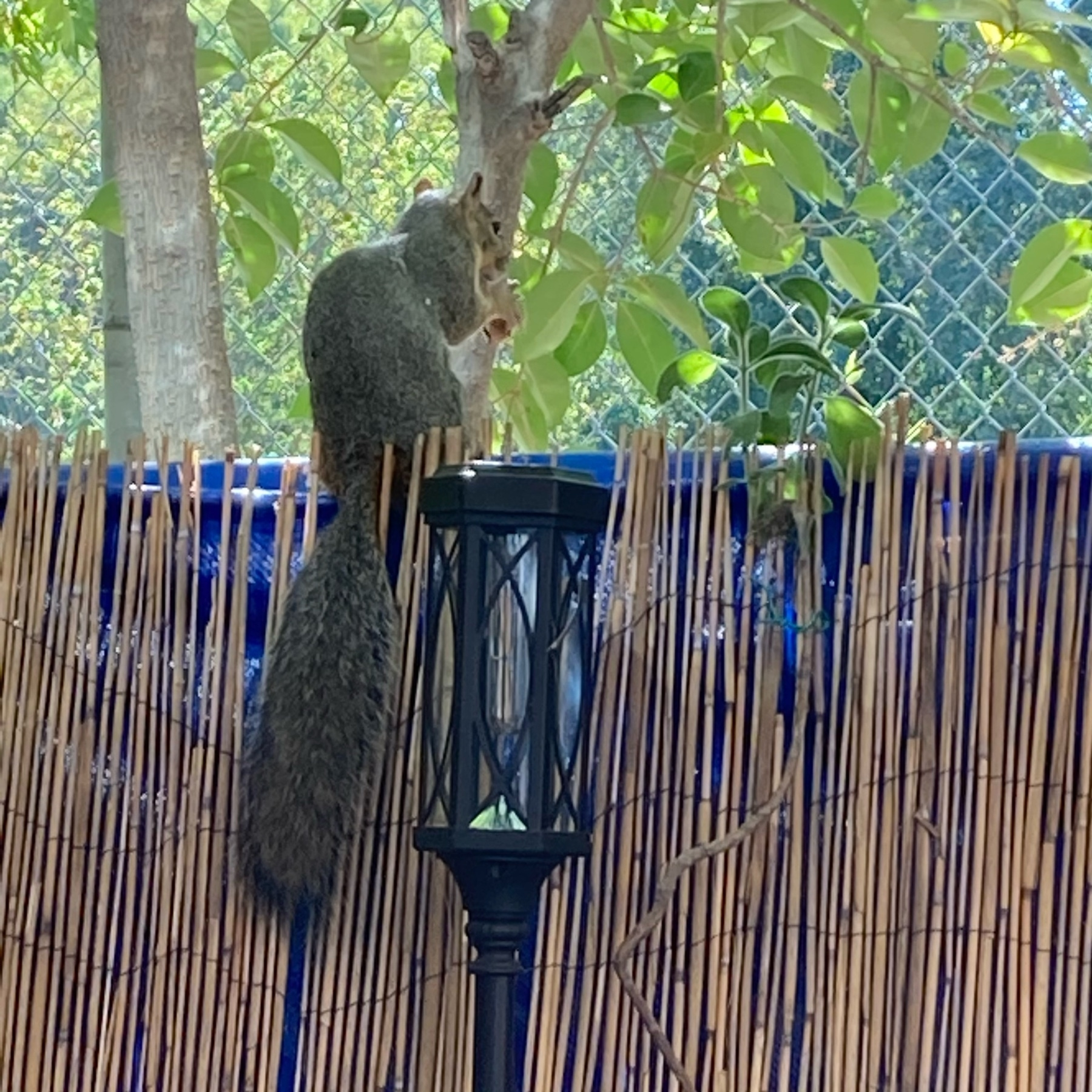 A squirrels eating a peanut.