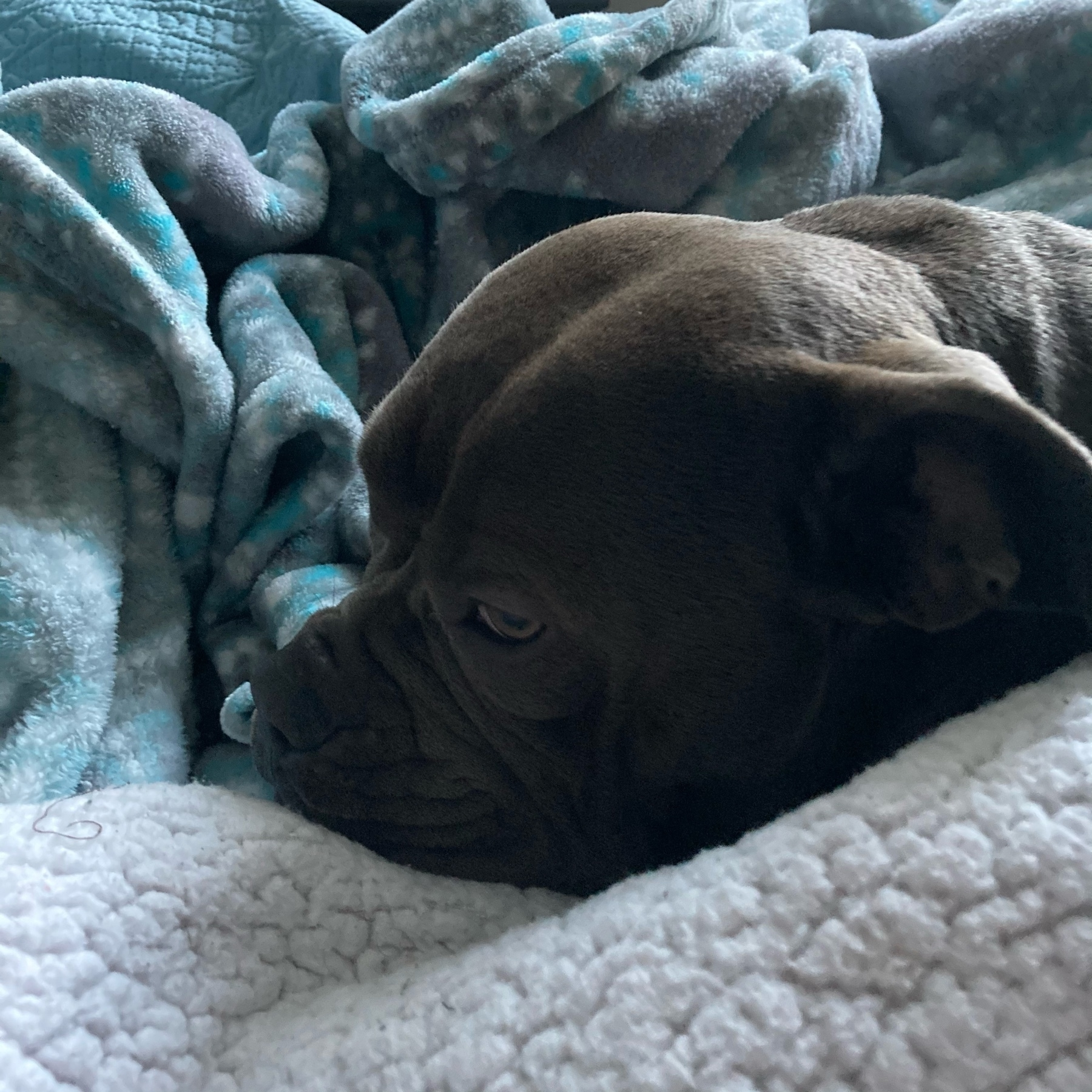 Lillie under the blankets.