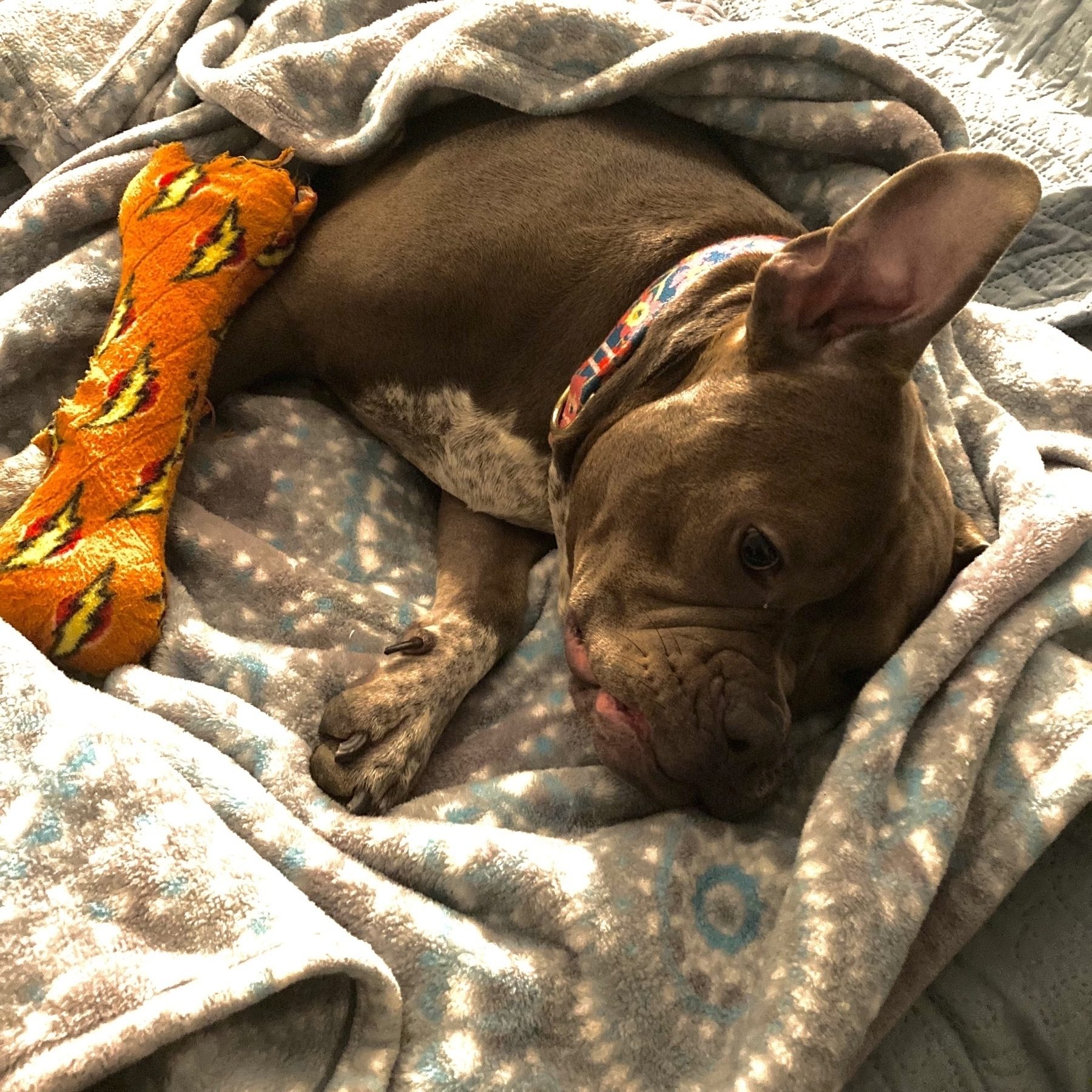 Dog curled up in bed with toy.